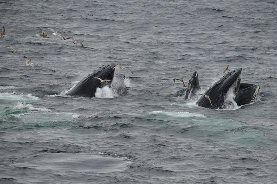 Boston Harbor Cruises : Whales scooping up schools of fish