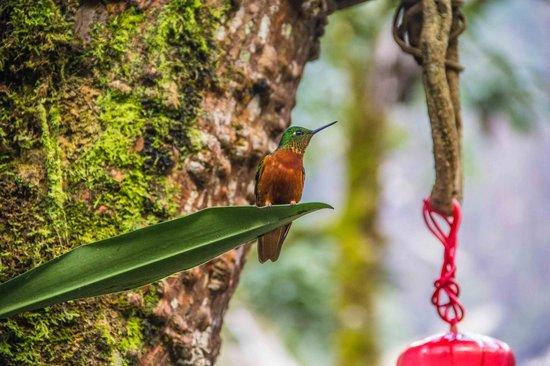 Inkaterra Machu Picchu Pueblo Hotel: Hummingbird
