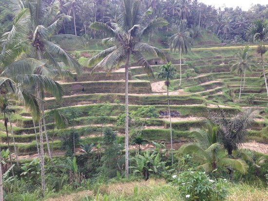 Tegalalang Rice Terrace: Not much of a view now