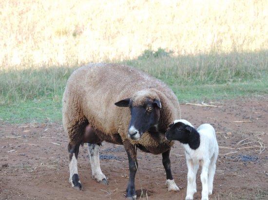 Lee Farm Stay Cottages: Newborn lamb
