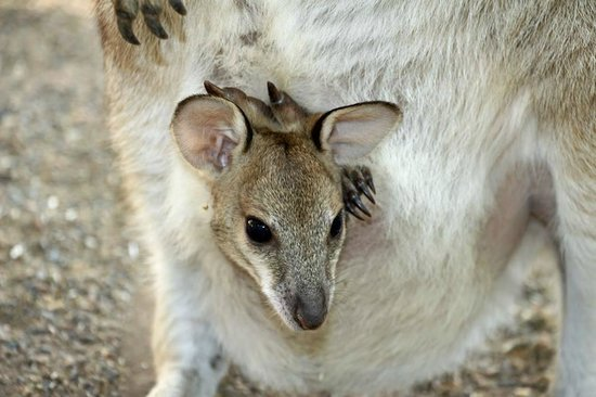 Featherdale Wildlife Park: We were up close with joeys.