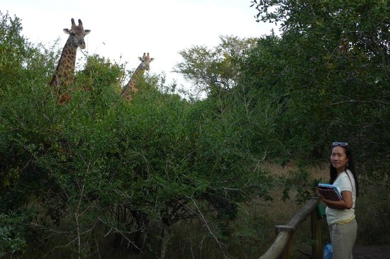 Bushwillow Collection: The Giraffes came for dinner