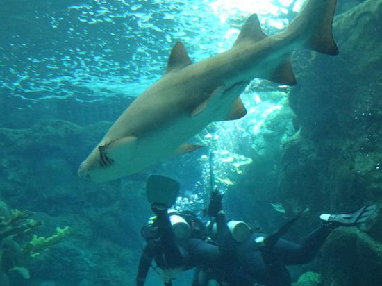 The Florida Aquarium : Diving with the Sharks