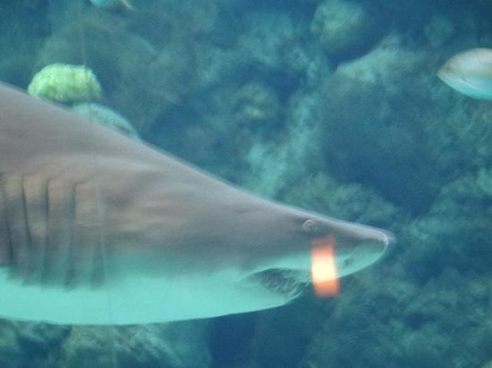 The Florida Aquarium : Sand Tiger Shark