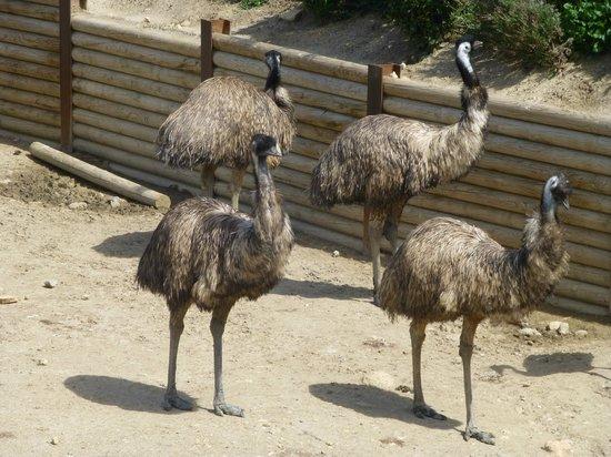 Réserve Africaine de Sigean : Emus