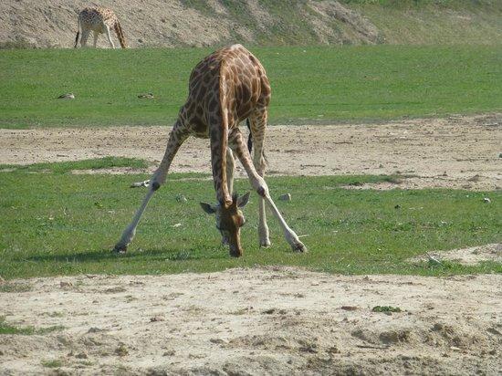 Réserve Africaine : Giraffe
