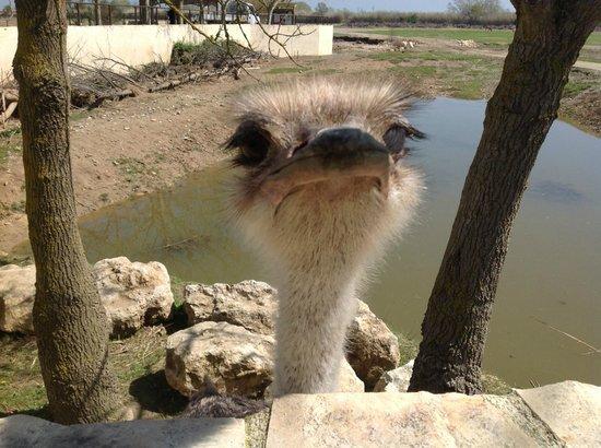 Réserve Africaine : Ostrich