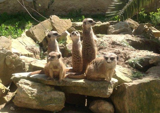 Réserve Africaine : Meerkats