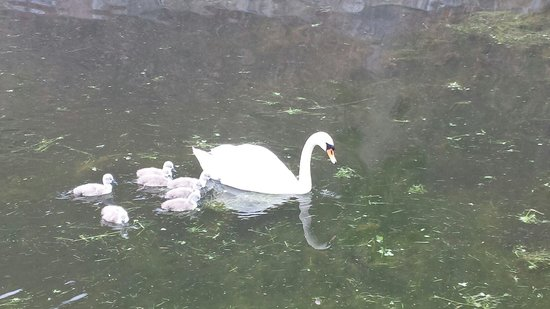 Kronborg Castle: Swans in the grounds