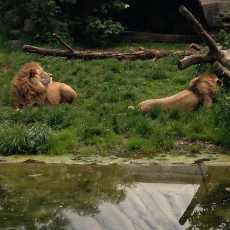 Botanischer Garten Muenchen-Nymphenburg: Lions