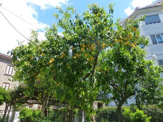Artis Domus: Lemon tree in grounds