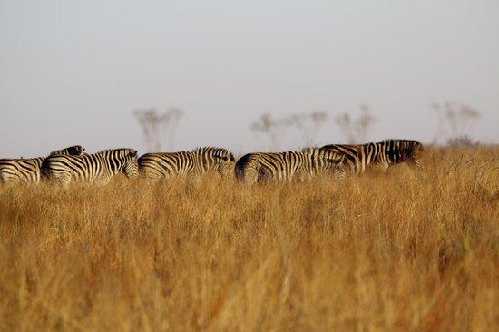 Rietvlei Nature Reserve: Burchell's Zebra