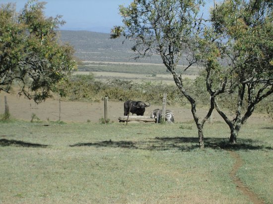 Mount Longonot Lodge: animals at the the waterhole