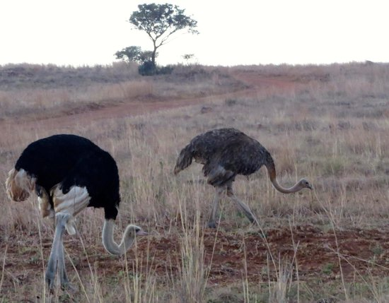 Rietvlei Nature Reserve : Ostrich
