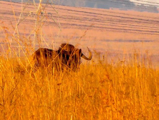 Rietvlei Nature Reserve : Black Wildebeest or white-tailed gnu is one of the two closely related wildeb