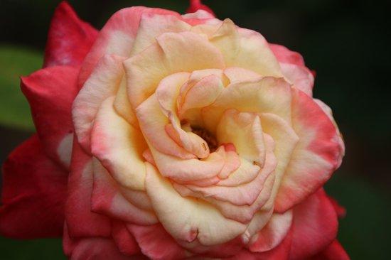 Hamamatsu Flower Park: 美しい薔薇
