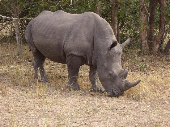 Ziwa Rhino and Wildlife Ranch: Grazende neushoorn