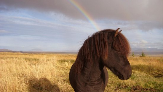 Icelandic HorseWorld: A horse in the field
