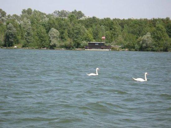 Alte Donau: cigni