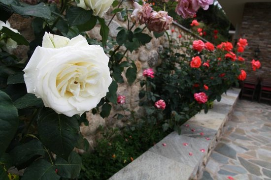 Dellas Boutique Hotel: big and beautiful roses growing at the hotel