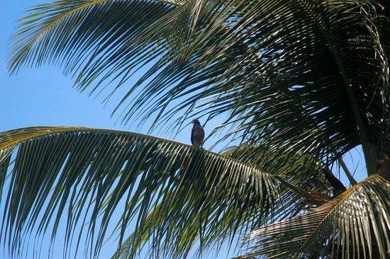 Marigot, Dominica: Bird watching - Broad winged hawk