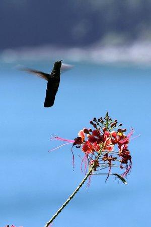 Marigot, Dominica: Green-throated Carib Hummunbird