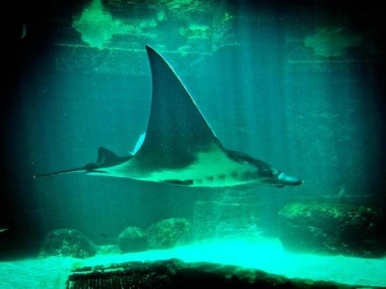 Marine Habitat at Atlantis: The Manta Ray is a must-see