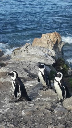 Stony Point Penguin Colony: After a nice chilly swim in the ocean