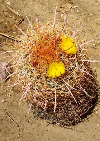 Barrel Cactus in bloom in the 29 Palms Inn garden