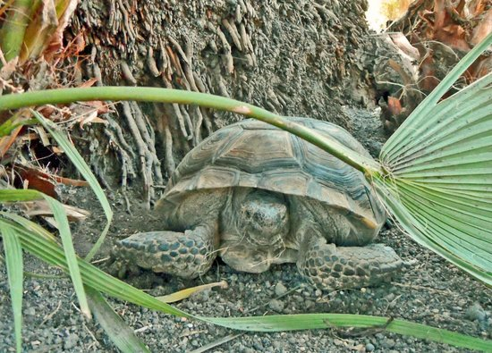 29 Palms Inn: We also spotted a desert tortoise on the property.