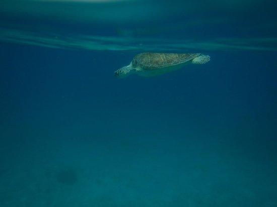 Fury Charters : Turtles swimming right next to you!