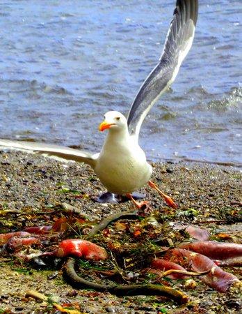 Schooner Gulch State Beach: Seagull eating a dead octopus.