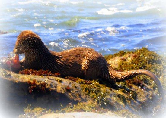 Schooner Gulch State Beach: The otter enjoying a snack.