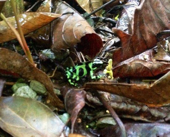 Pachamama Jungle River Lodge: frog!