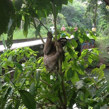 Pachamama Jungle River Lodge: 3 toed sloth hanging out on the side of the road during a bikeride
