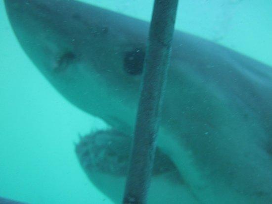 White Shark Diving Company: eye to eye!!!