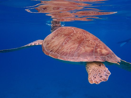 Cruise Ship Excursions: Sea Turtle at Turtle Cove