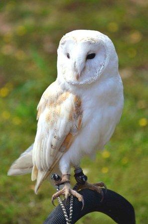 Malta Falconry Centre: Barn Owl