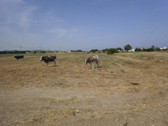 Mastichari Bay Hotel: koeien staan hier aan de leiband