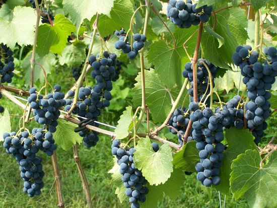 Elfs Farm Winery and Cider Mill: Grapes