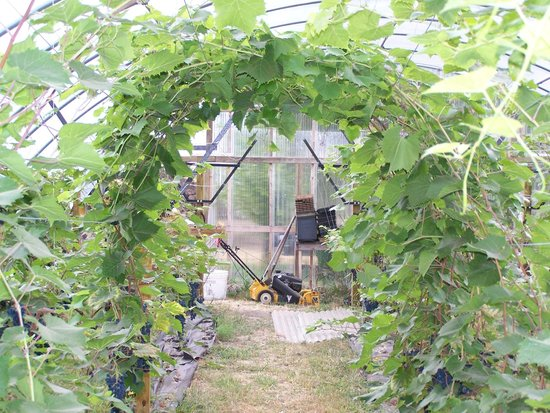 Elfs Farm Winery and Cider Mill: Grape Tunnel
