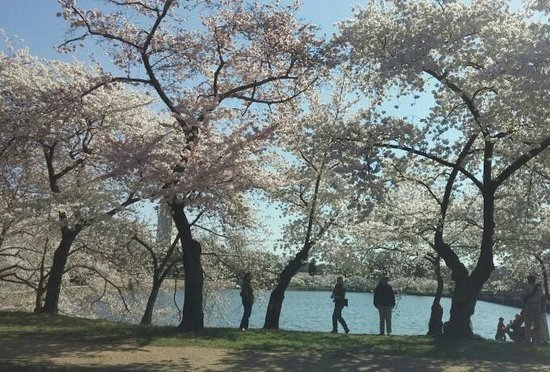 Jefferson Memorial: Cherry Blossoms in Bloom Along the Tidal Basin