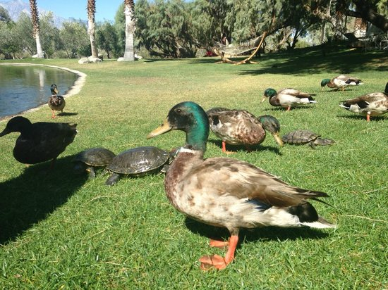 Two Bunch Palms: Tame Ducks and Turtles
