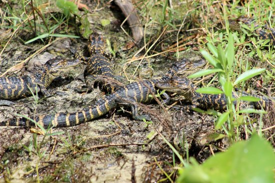 Wild Willy's Airboat Tours: Baby gators!