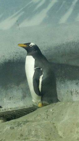 Tennessee Aquarium: Penguins!!!