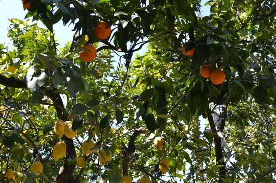 Grand Hotel La Favorita : Lemons and oranges in the garden