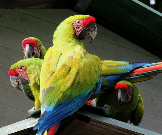 The Ara Project : Great Green Macaws