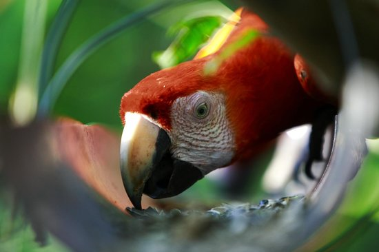 The Ara Project: Scarlet Macaw eating seeds