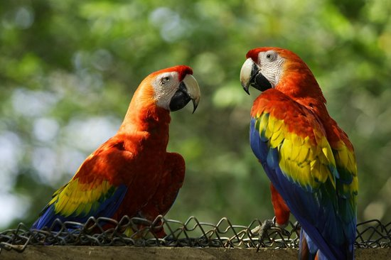 The Ara Project : A couple of Scarlet Macaws