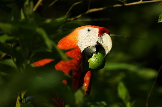 Punta Islita, Costa Rica: Feeding on wild fruits